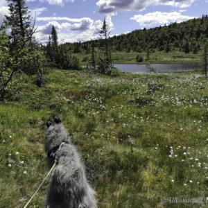 Grå hjortehund på tur ved ei myr med myrull og eit vatn i bakgrunnen