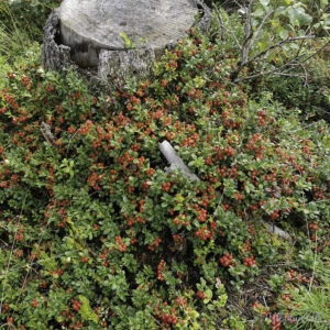 Raude tytebær i ei stor tue ved ein gamal stubbe