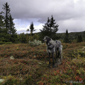 Raud lyng med grå skotsk hjortehund