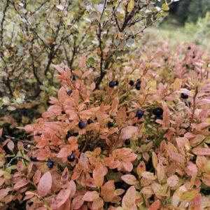 Blåbær og raud blåbærlyng