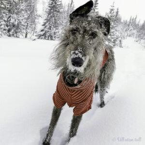 Nanna, skotsk hjortehund, med raud pysjamas på tur i snøen