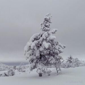 Ei furu dekka av snø og med grå himmel