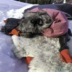 Skotsk hjortehund med rosa dekken og raude sokkar ligg på tepper ute i snøen