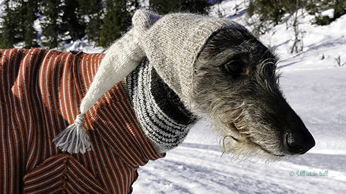 Skotsk hjortehund med raudstripete trøye og pointy greyhoundhoodie i snøen